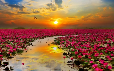 lotus_flowers-wide
